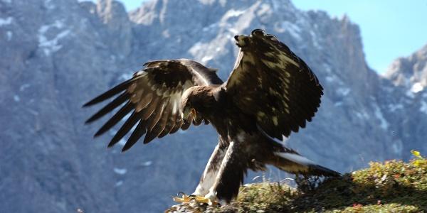Steinadler im Karwendel beobachten