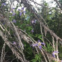La clematide si arrampica su un pino morto