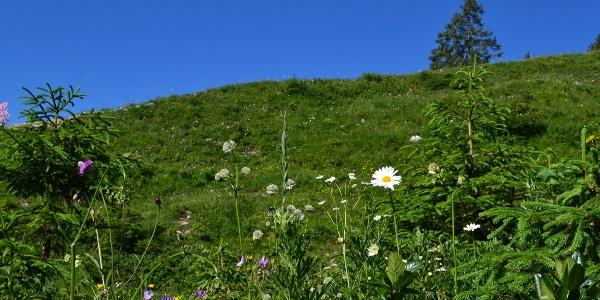 Blumen Landschaft am Ifen