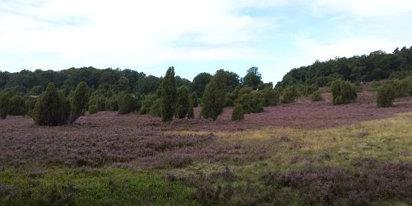 Erster Blick in die Heide bei Wilsede