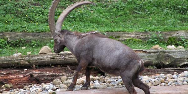 Der Steinbock ist immer wieder faszinierend, auch wenn man ihn schon öfters auch in freier Wildbahn gesehen hat.