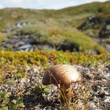Pilze ohne Ende: Wer ein Kenner ist, könnte sich auf dem Padjelantaleden damit den Bau vollschlagen.