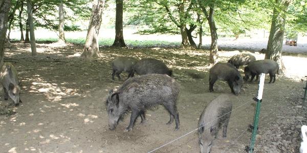 Wildschweine im Wildpark Bilsteintal