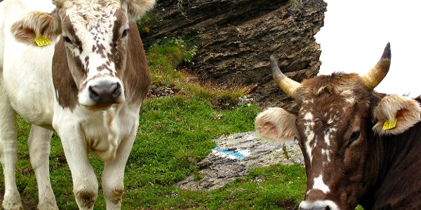 Kühe am Graustock.
