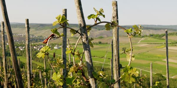 Rebherzbindung: Weinbau an der Mosel