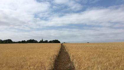 Following wheatfields out of Long Compton.
