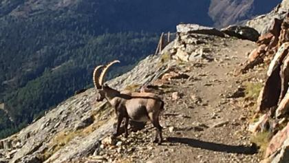 Wild mountain goats on path from Bella Vista Lodge