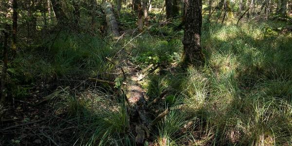Umgefallener Baumriese im Wald