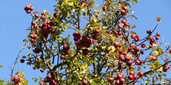 heuer überall reiche Apfelernte