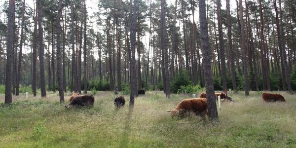 Hochlandrinder im Zuge des Naturschutzgroßprojekts