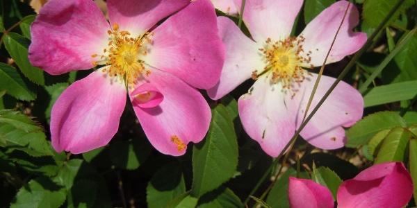 Wildrosen entlang des Rosenwanderwegwes
