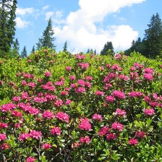 Alpenrosen - Pracht
