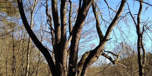 ein Schild weist diesen als Speierling aus, Baum des Jahres 1993