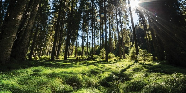 Pokljuški gozdovi
