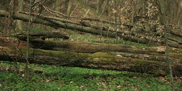 Kidőlt fák törzsein mászunk át