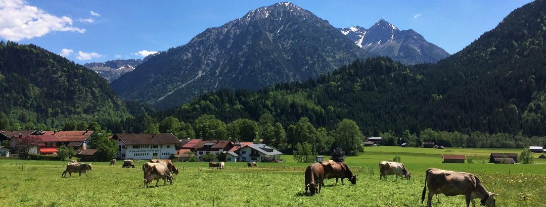 Allgäuer Braunvieh beim Spazieren vor Breitenberg und Rotspitze