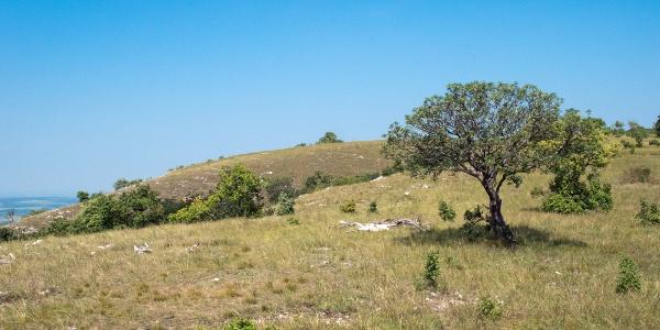 A legelő állatok tájformáló hatása, másfél méteres magasságig minden lerágva
