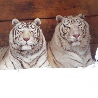 weiße Tiger im Zoo Aschersleben
