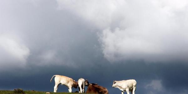 Rinder und Pferdeweiden am Monte Acuto