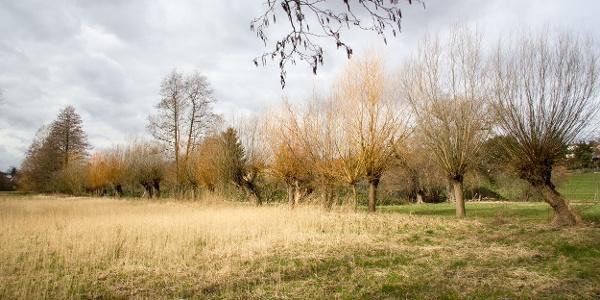 Flächennaturdenkmal Kaitzgrund: Alte Weiden säumen das Ufer des Kaitzbachs