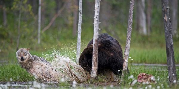 Wildlife encounter in Kuhmo, Finland, Arctic Lakeland