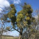Ein Mistel-Baum