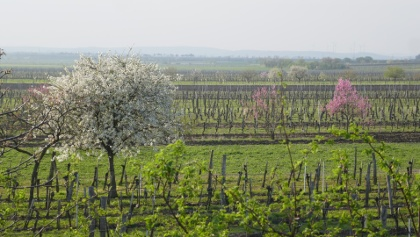 Weingärten bei Großhöflein