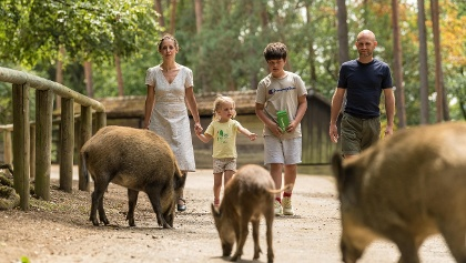 Wildschweine im Wild- und Erlebnispark Daun