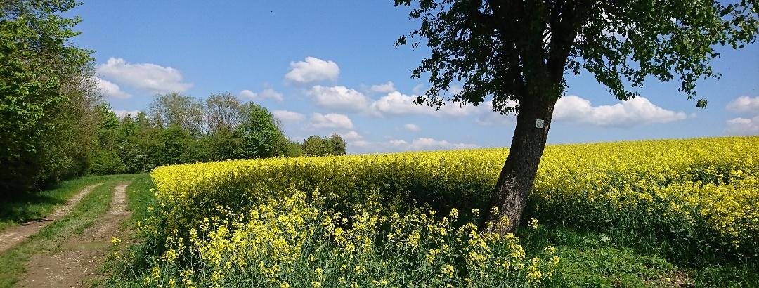 Rapsblüte im Biosphärenreservat Bliesgau