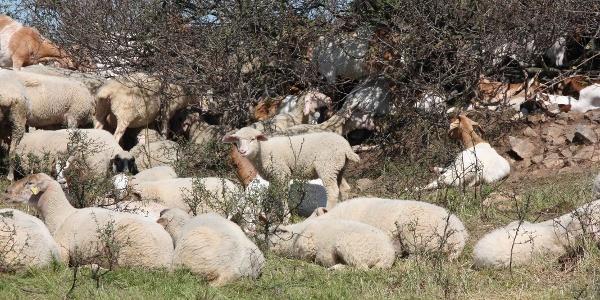 Schafe auf dem Küstenweg
