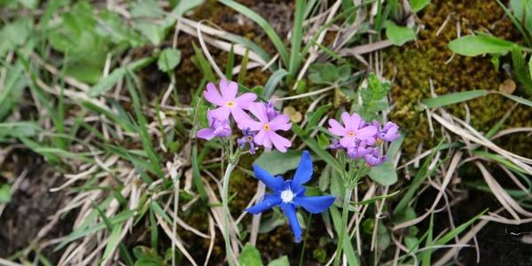 Mehlprimel und Enzian: Die Ibergeregg ist ein einzigartiger Lebensraum für Pflanzen.