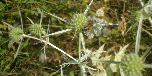 Biene und Diestel