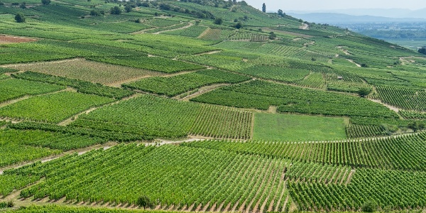 A Sea of Vineyards