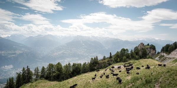 Troupeau de vaches au-dessus d'Anzère