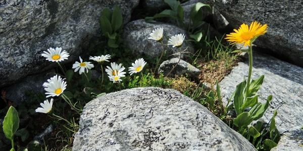 Bergblumen auf 2600 m