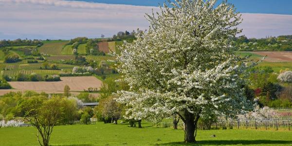 Landschaftsbild - blühender Obstbaum