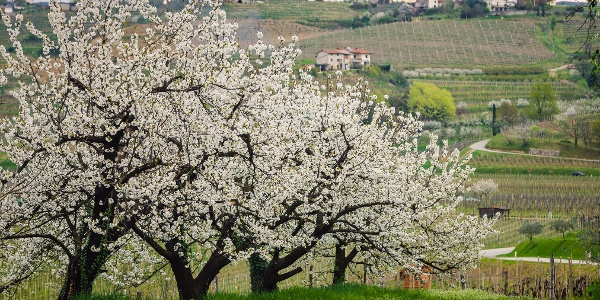 Cherry Trees Blooming By the Road