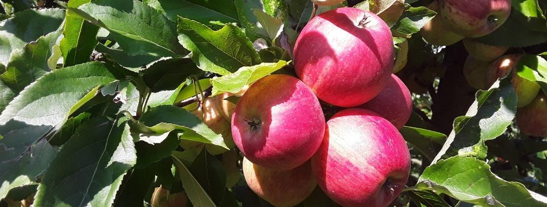 Äpfel in einer Obstanlage in Rickenbach