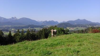Alpvieh vor Bergpanorama