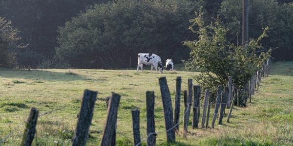 Kühe aud der Weide