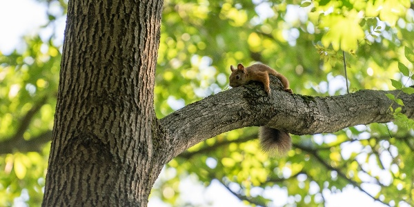 Faághoz lapuló mókus az Országos Kéktúra 14. szakaszán, Hűvösvölgy közelében