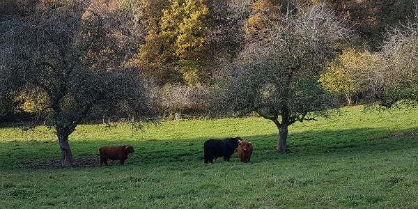 Kühe auf der Weide nahe Olmscheid