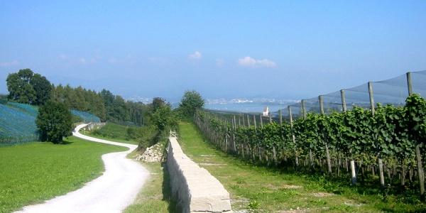 Der Grosse Rundweg Leutschen führt vorbei an den Rebstöcken der Klosterkellerei vom Kloster Einsiedeln.