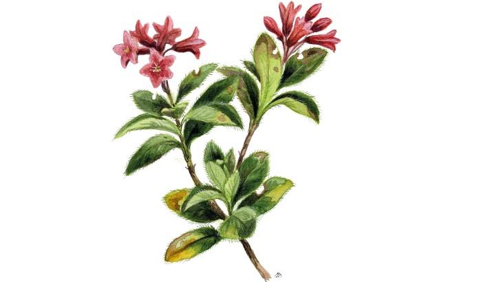 Hairy alpenrose (Rhododendron hirsutum)