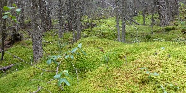 Moos am Trail.