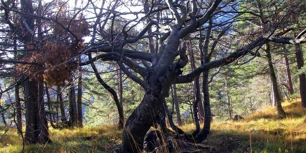 Der Augenbaum