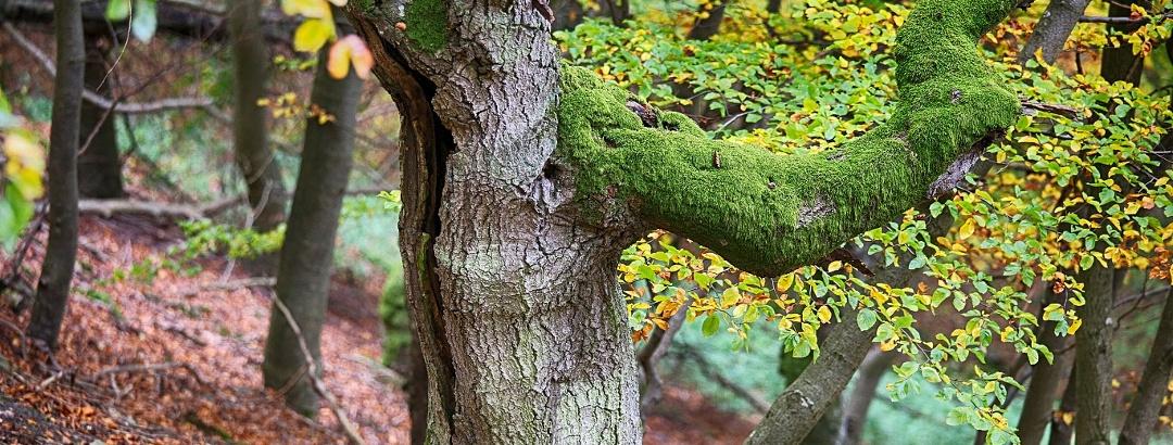 Urig gewachsene Buchen auf dem Urwaldsteig Edersee