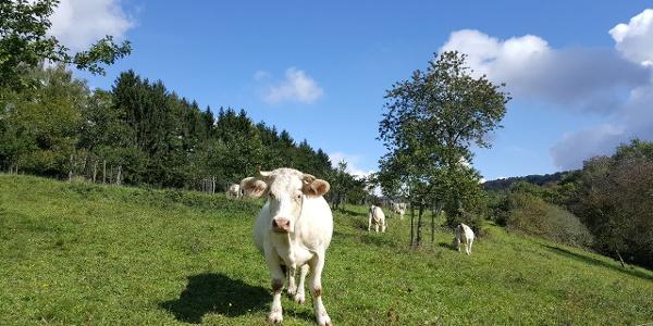 Rinder auf der Streuobstwiese