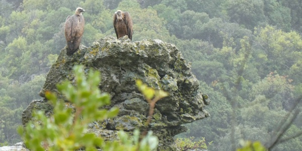 Vultures perched in the rock face