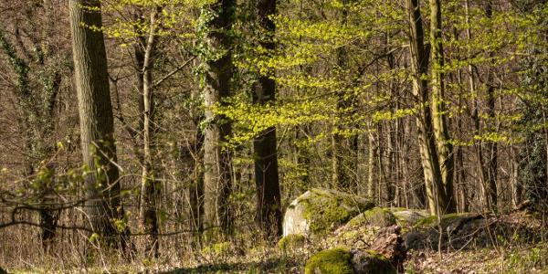 Eichenwald mit Felsblöcken, sogenannten Wollsäcken